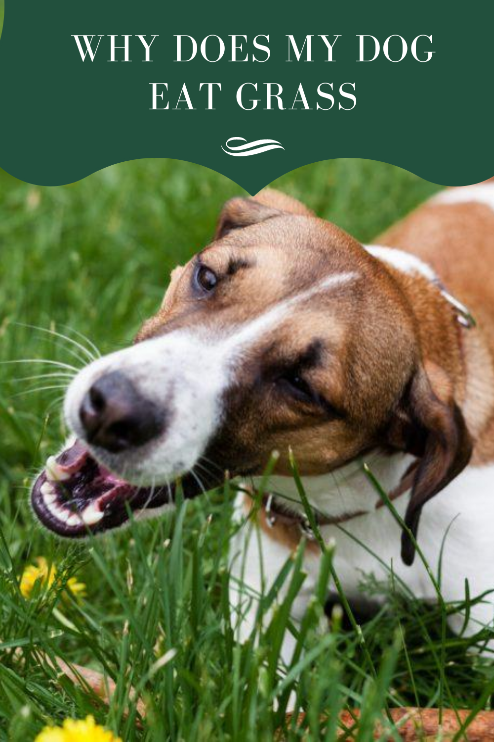 Why Dogs Eat Grass: Causes and Prevention #doglover #dogtraining #doglife #doglover #dogtrainingadvice