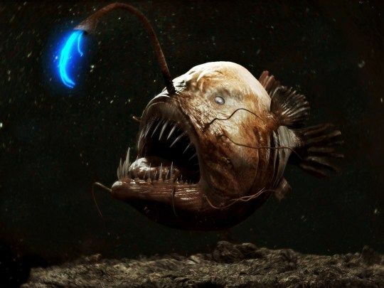 Anglerfish Light On Head Fish Images Pictures Photos Hd