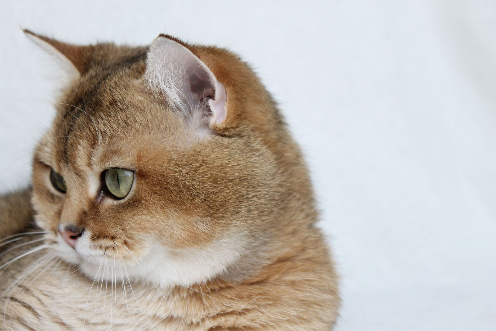 Cat anatomy, Cats, British shorthair