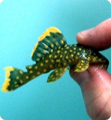 L018 Gold Nugget Pleco 5 Inch Beautiful Fish Plecostomus Gold Nugget