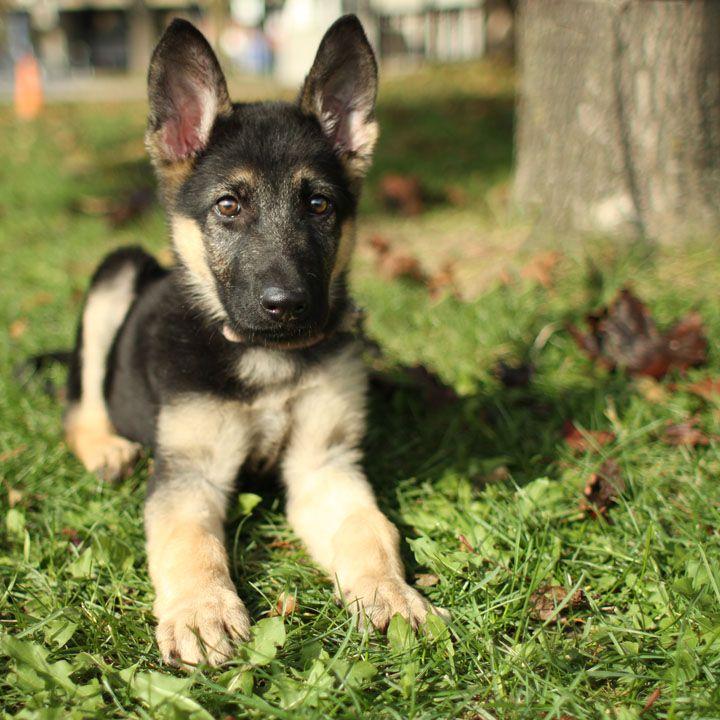 German Shepherd Puppy Shepherd Puppies Puppies