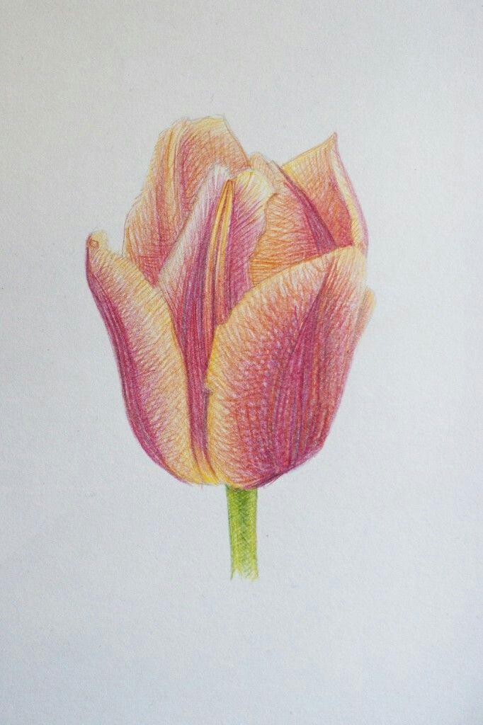 Tulpe Gezeichnet Zeichnungen Zeichnen Tulpen
