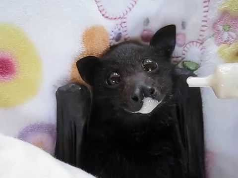 A Skinny Little Fruit Bat Eagerly Enjoys a Bit of Yummy Banana Smoothie