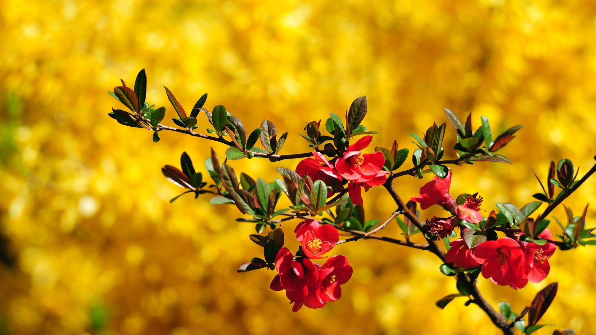 Wallpaper download beautiful - Free Download Beautiful Maroon Flower Wallpaper Pageresource Com