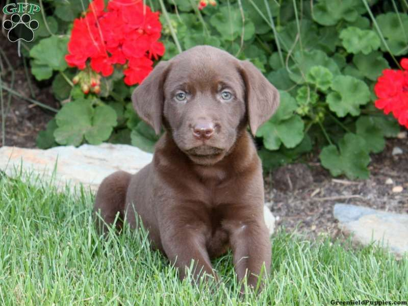 Nicole, Chocolate Lab puppy for sale from Manheim, PA