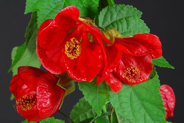 Worlds Most Beautiful Flowers Plants Beautiful Chinese Lantern