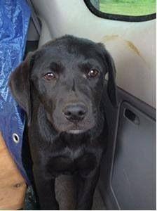 Adoptable Chicago Il 10 Week Old Black Labradorretriever Puppies Chicagoland Lab Rescue 4 Female 2 Males Labrador Retriever Black Labrador Losing A Dog
