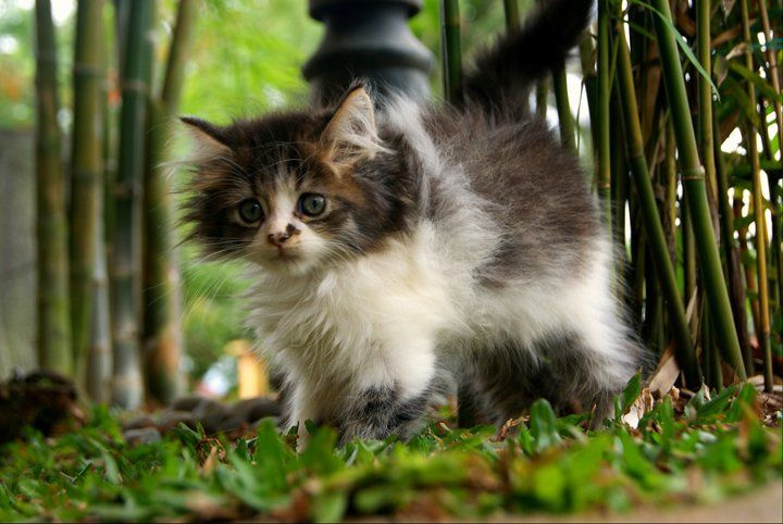 Maine Coon Kitten furbabies Cats, kittens, Maine coon