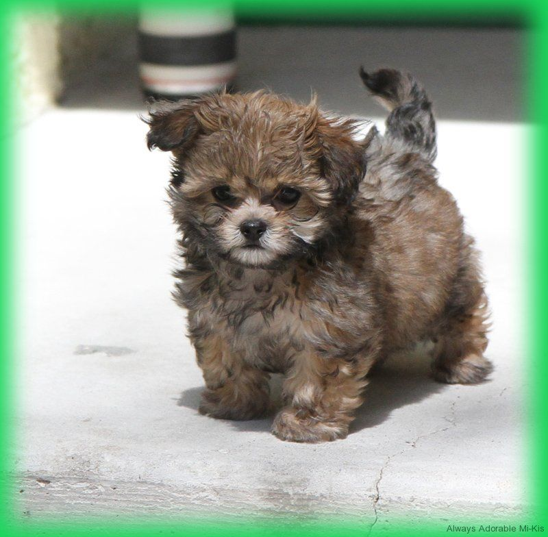Available Mi Kis Tiny Puppies Cute Little Puppies Small Dog Photos