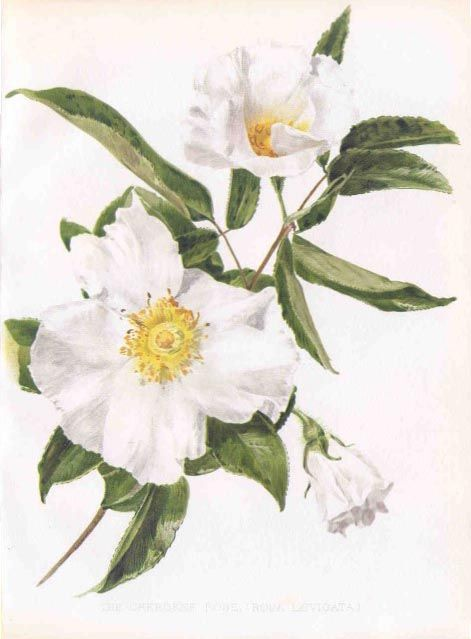 5d3280f00 Flora and Sylva Cherokee Rose | White Flower Prints & Paintings Etc ...