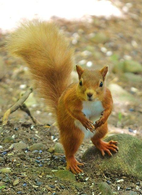Red Squirrel (mit Bildern) Niedliche tierbabys