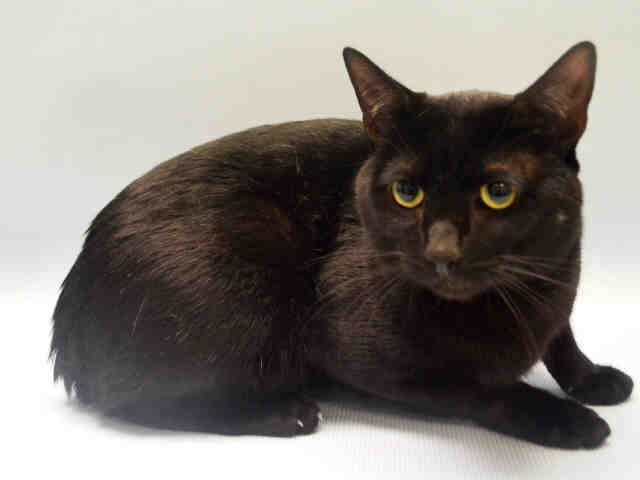 SPARROW - A1060528 - - Manhattan   ***TO BE DESTROYED 01/04/16*** Poor SPARROW has been DUMPED, citing the oldest excuse in the book…ALLERGIES! The 2 and a half year old was slightly nervous during intake but that's CLEARLY to be expected! PLEASE, offer to FOSTER or ADOPT this black beauty. Give this SPARROW wings to fly out of the shelter! -  Click for info & Current Status: http://nyccats.urgentpodr.org/sparrow-a1060528/