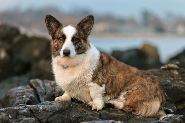 Cardigan Welsh Corgi Corgi Puppies For Sale Corgi Corgi Funny
