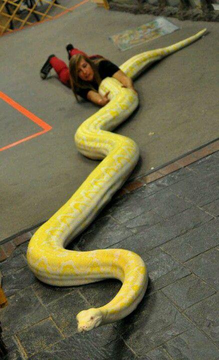 Twinkie 20 Ft 350 Lbs Mit Bildern Schlangen Tiere Zeichnungen