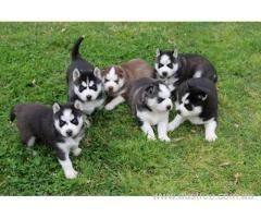 Siberian Husky Puppies For Sale Husky Puppies For Sale Siberian Husky Puppies Dogs