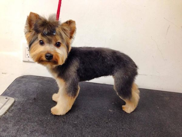 Remarkable Yorkie After Grooming To Do Pinterest Puppys Search And Poodles Hairstyles For Women Draintrainus