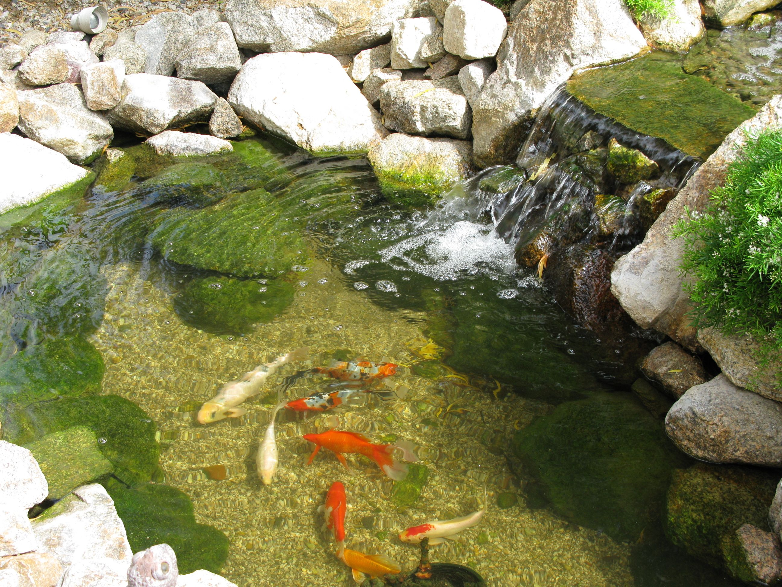The koi pond in our backyard garden flowers ponds for Koi pond waterfall