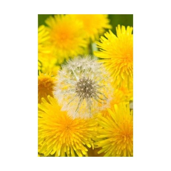 Just A Dandelion If You Don T Know What To Do With This After It S Picked Honey You Need To Get Out More Literal Dandelion Dandelion Flower Dandelion Wish