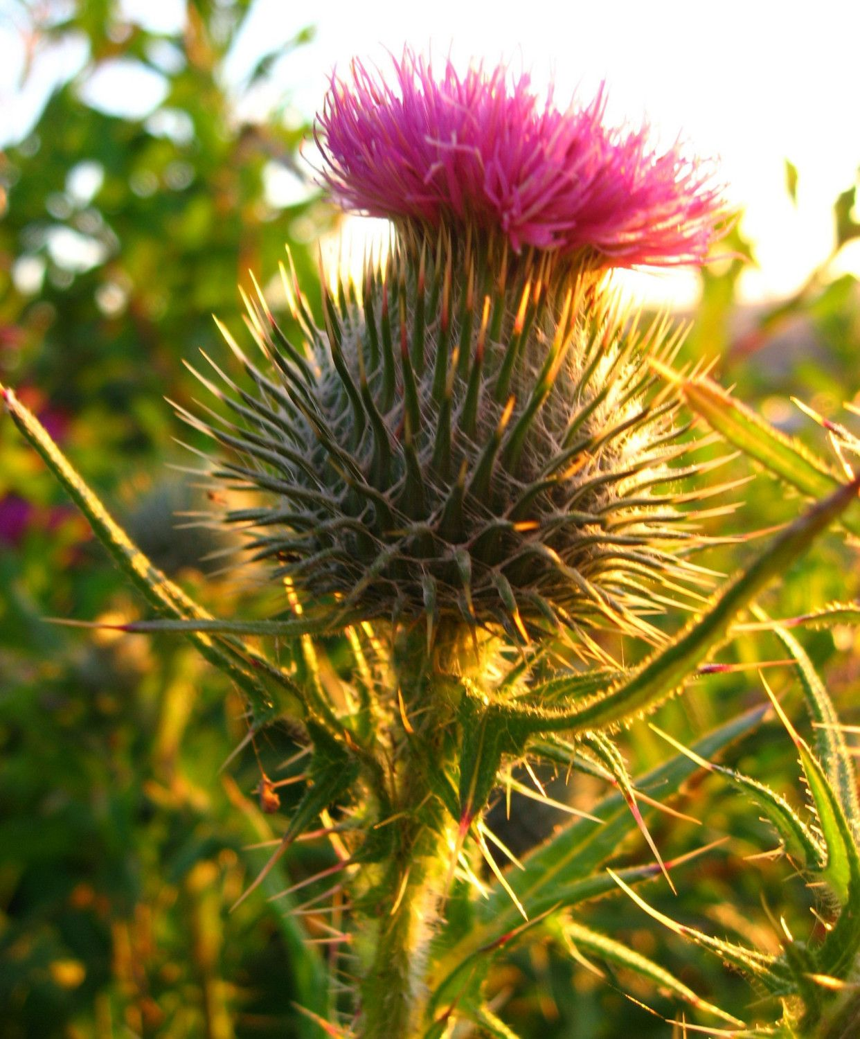 The scottish thistle a symbol of nobility in scotland id like the scottish thistle a symbol of nobility in scotland id like every buycottarizona Image collections