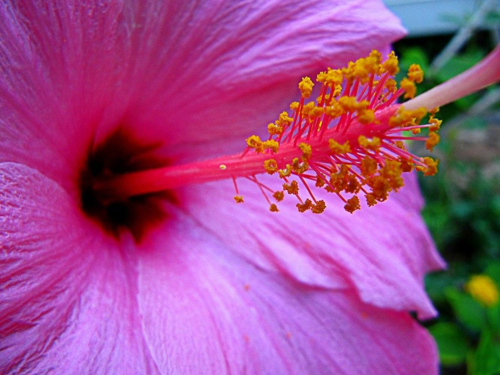 Pink and purple hibiscus close up hawaii flowers hawaii and purple hibiscus shows off its large soft petals and gets us so close to its anthers those yellow pieces that we wonder if just looking will get izmirmasajfo