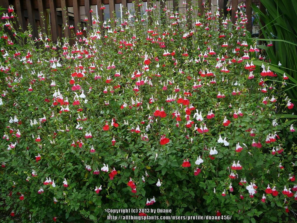 Hot Lips Salvia For Phoenix Az Zone 9b Flowers Salvia Hot Lips