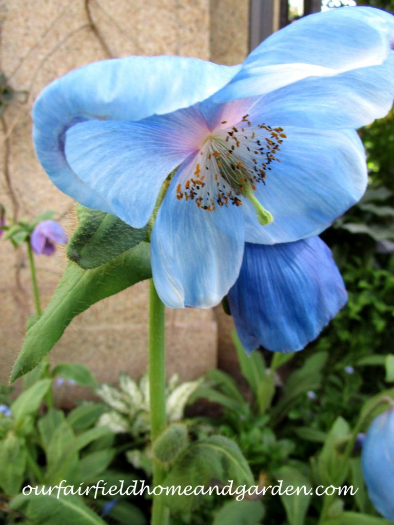 Himalayan Blue Poppies ~ A Gardener's Dream!
