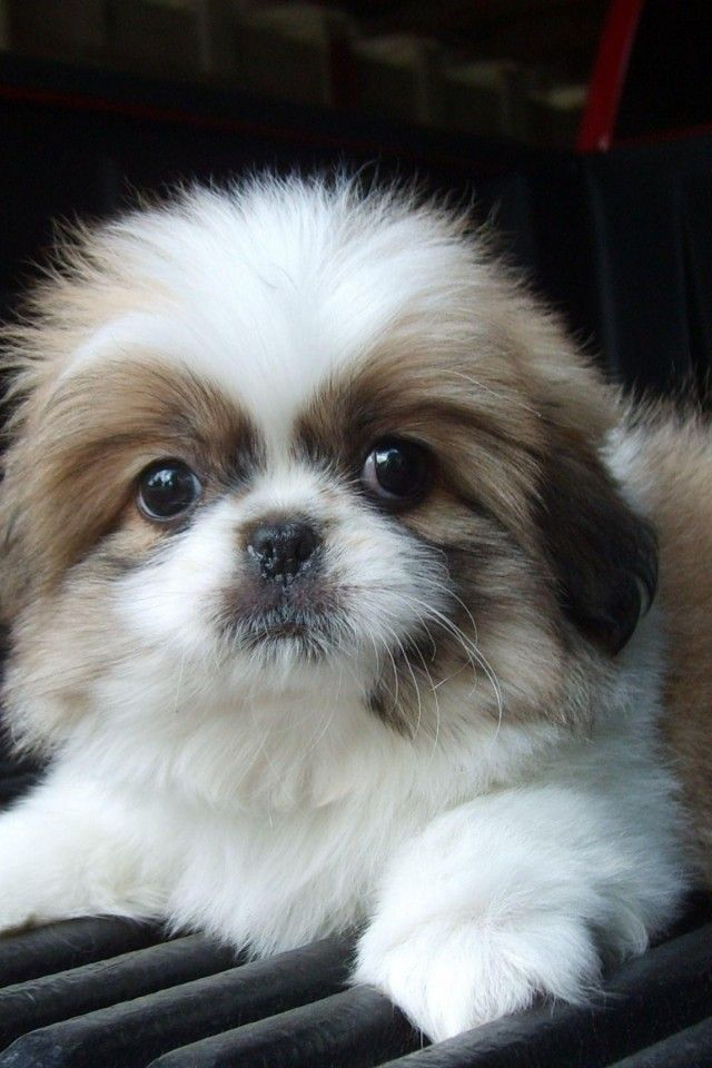 Useful Information On Transitioning From Puppy Pads To Outdoors Gallery Take A Quick Break Pekingese Puppies Shih Tzu Puppy Pekingese Dogs