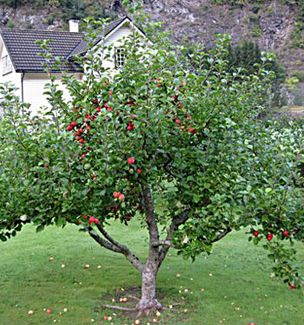The Garden Delicious Apple Tree Is An Ideal Dwarf Fruit Tree To Add To Your  Backyard! Enjoy Delightful Apples In Late September With The Garden  Delicious.