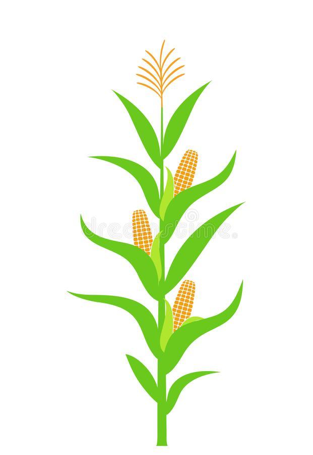 Corn Stalk Stock Illustrations 1,991 in 2020 Corn