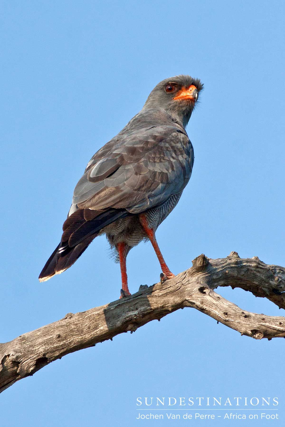 Pale-chanting goshawk : This bird of prey is easily identifiable by its bright orange legs and matching beak. The goshawk has a distinct call, which is quite melodious in nature.  #raptors #birdsofprey #krugerbirding africaonfoot #goshawk