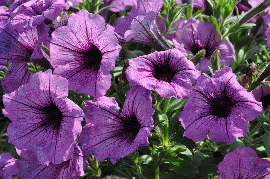 Supertunia Bordeaux Petunias Language Of Flowers Flowers