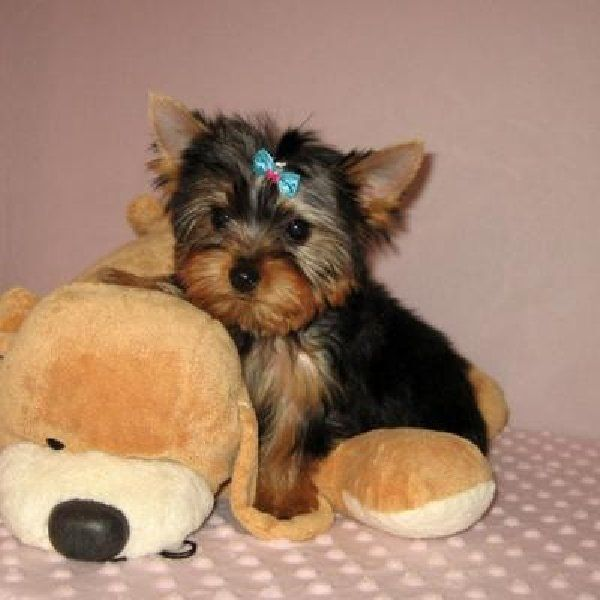 White Yorkie Puppies Cute And Adorable Teacup Yorkie Puppies