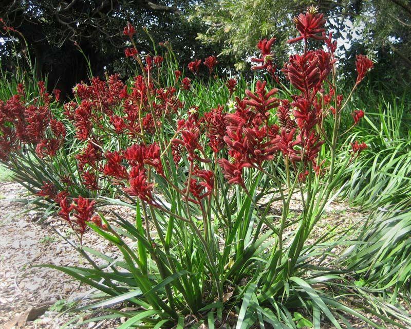 Anigozanthus Bush Ranger Kangeroo Paws Kangaroo Paw Red Plants Red Kangaroo