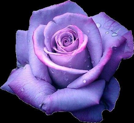 Such pretty rose!