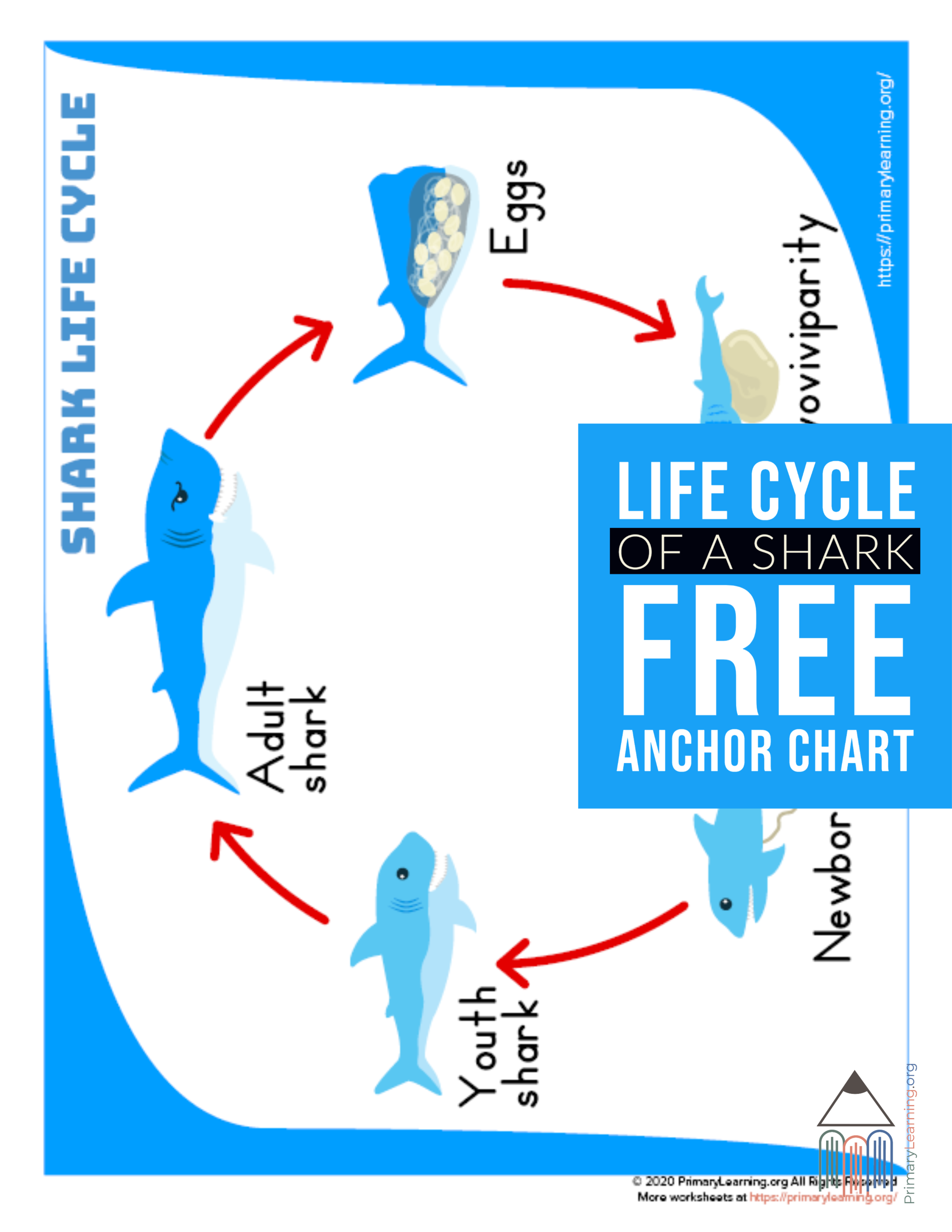 Shark Life Cycle Anchor Chart In