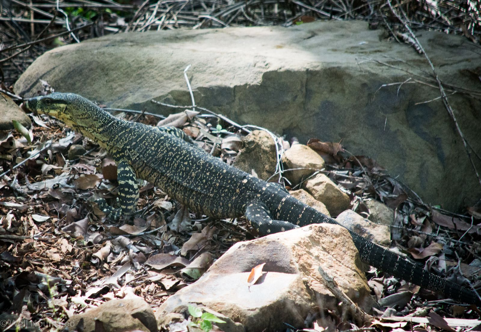 this lace monitor lizard is an occasional visitor in my