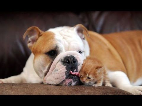 Big Dogs Playing With Little Kittens Compilation Animals