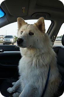 5 17 14 Winter Park Co Samoyed Husky Mix Meet Sweetie A Dog