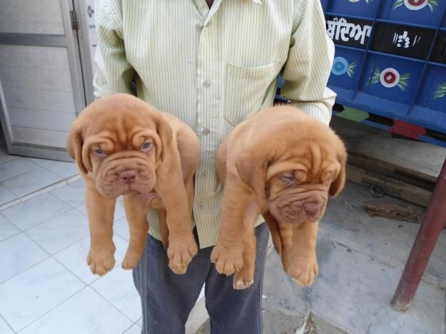 French Mastiff Puppies French Mastiff Puppies French Mastiff Puppies