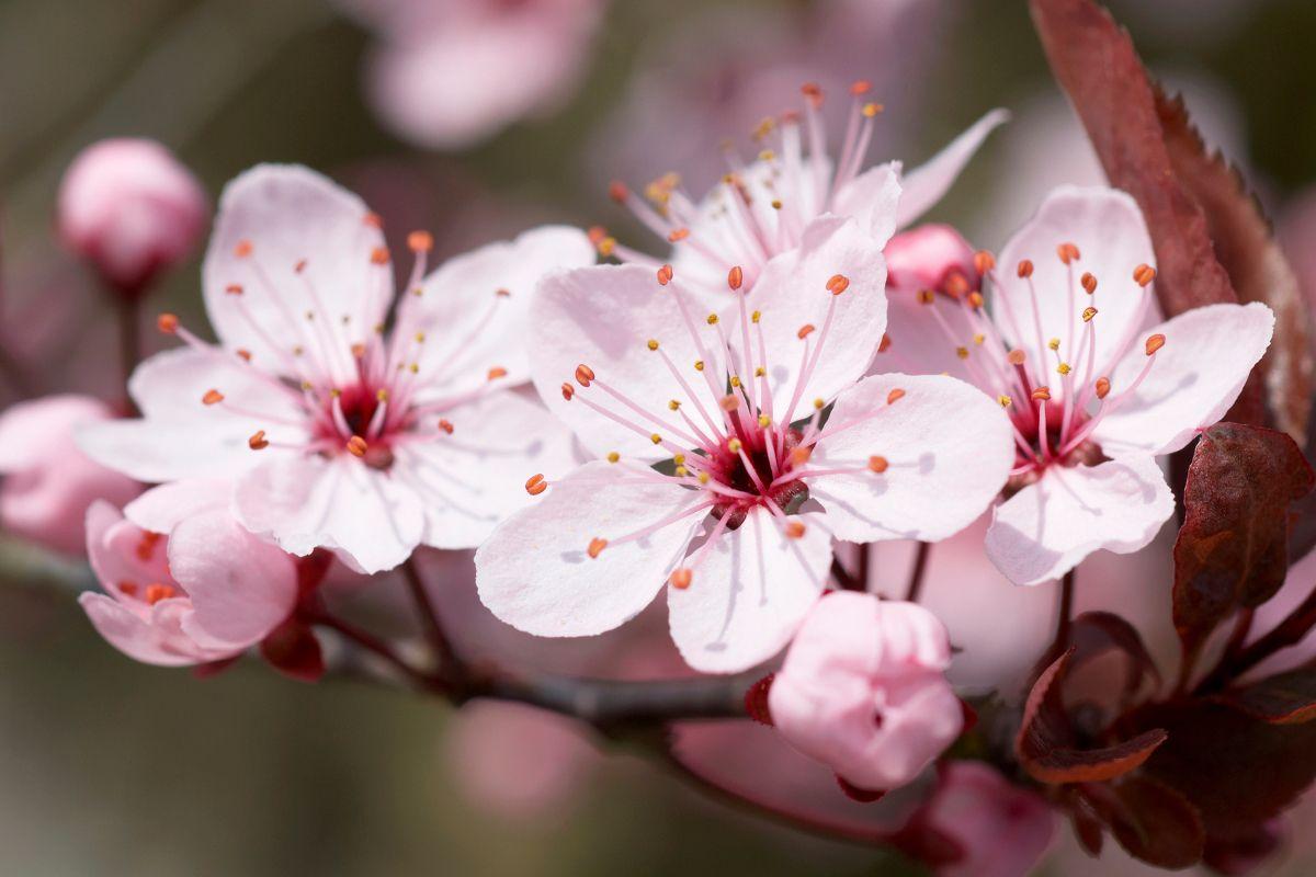 Cherry Tree Cherry Tree Tree Meanings Tree