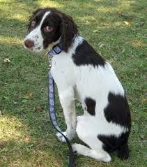 Image Result For Springer Spaniel Poodle Mix Springer Spaniel English Springer Spaniel English Springer