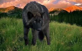 Resultado de imagen para black wolf wallpaper