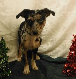 Texas Urgent Rex Is A 7mox Dapple Dachshund Doxie Mix In Need Of A Loving Adopter Rescue At Houston Humane So Cute Animals Dapple Dachshund I Love Dogs