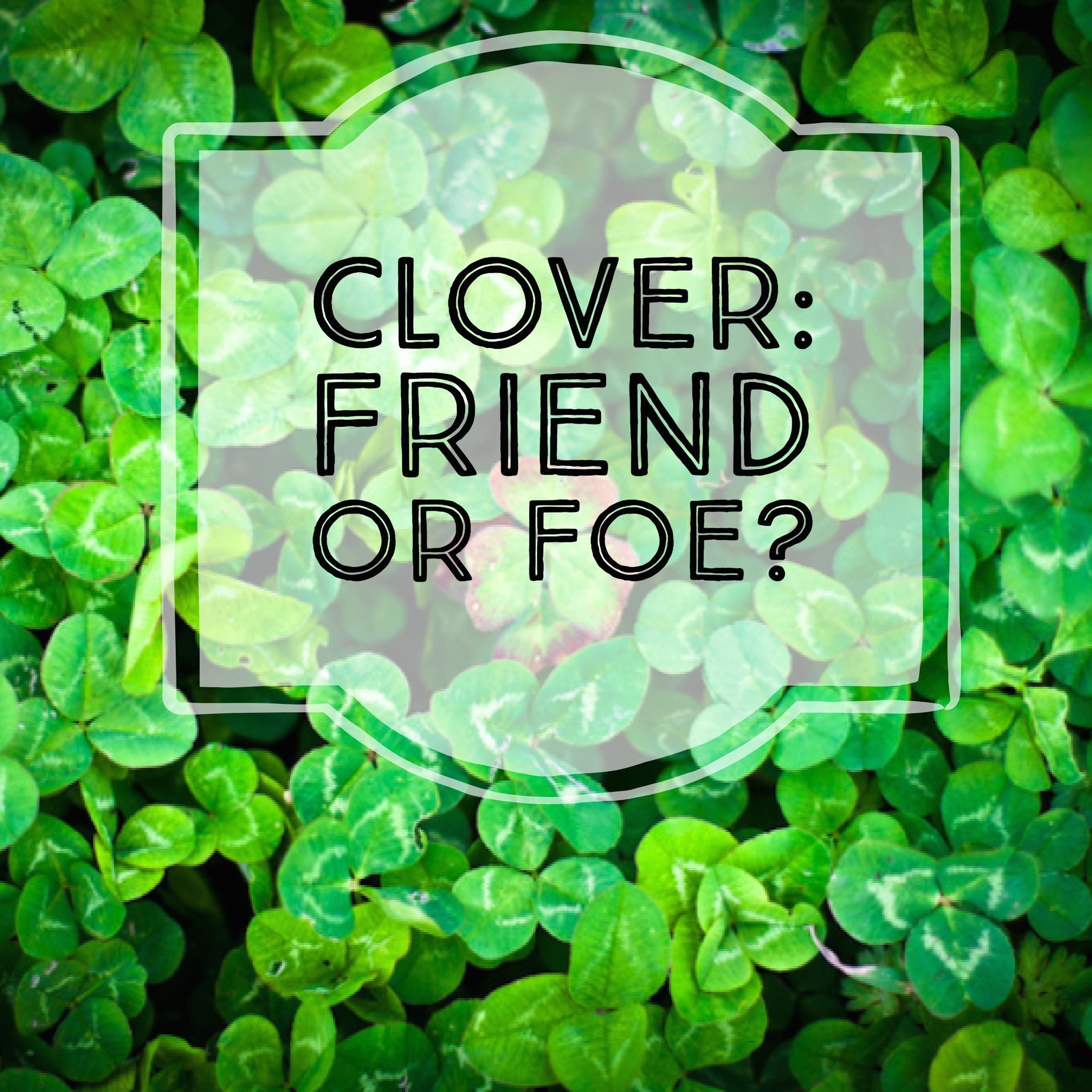 Advantages and disadvantages of clover lawns 1000