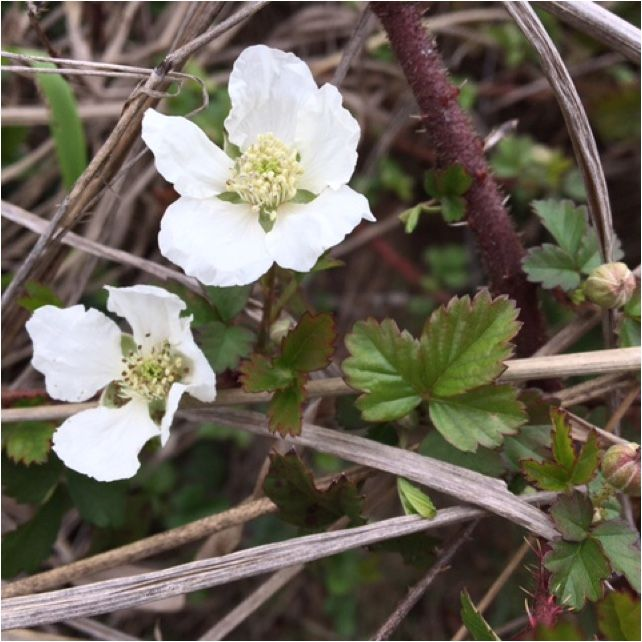 Free Plant Identification Growing raspberries, Yellow