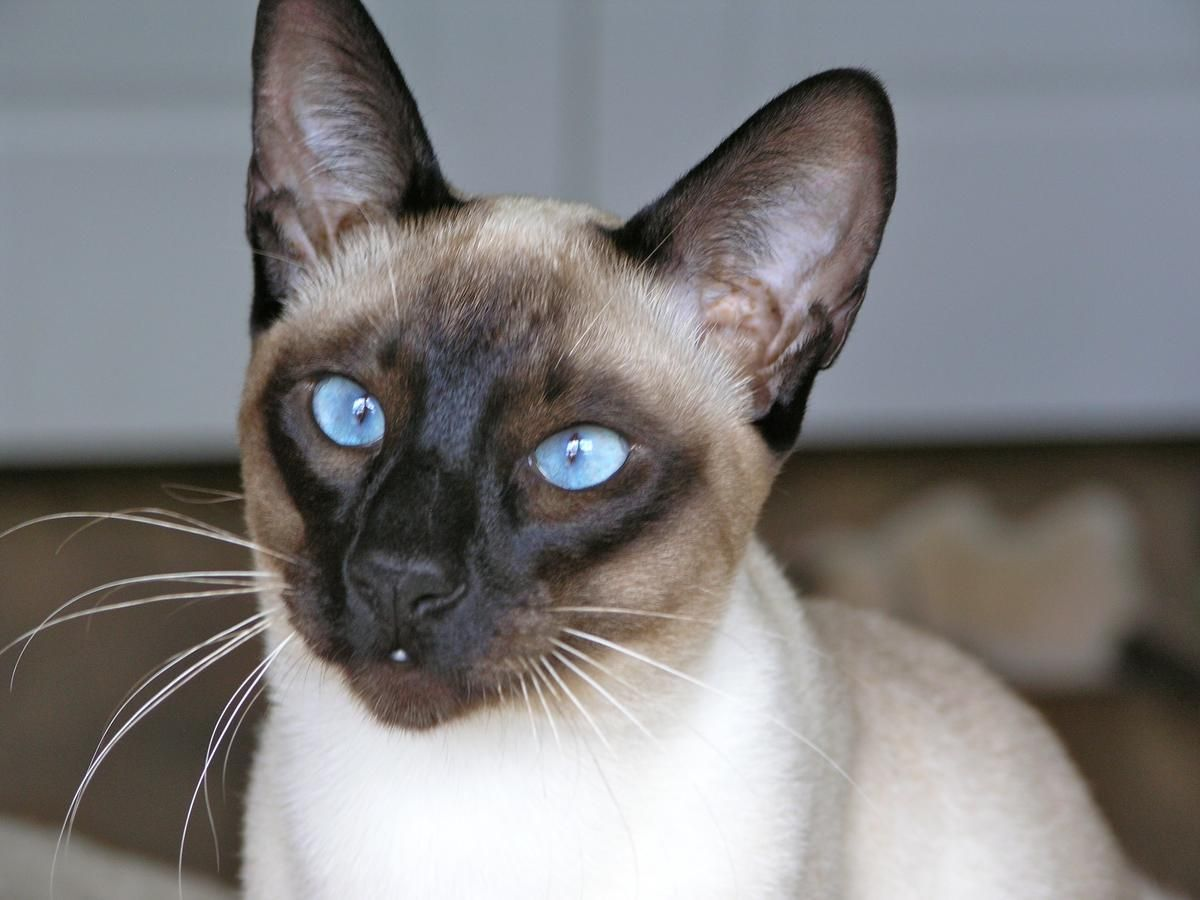 Beautiful Seal Point Siamese Kittens For Sale Siamesekittens Siamese Kittens Siamese Cats Blue Point Siamese Cats