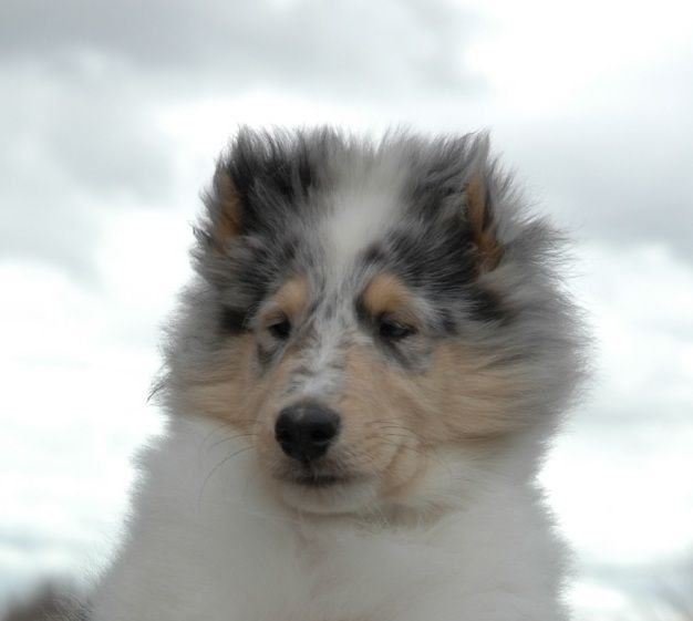 Castlebar Collies Akc Breeder Rough Collie Smooth Collie