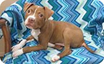 Pin By T Napo On Adoptable Pampered Pooches Pitbull Terrier