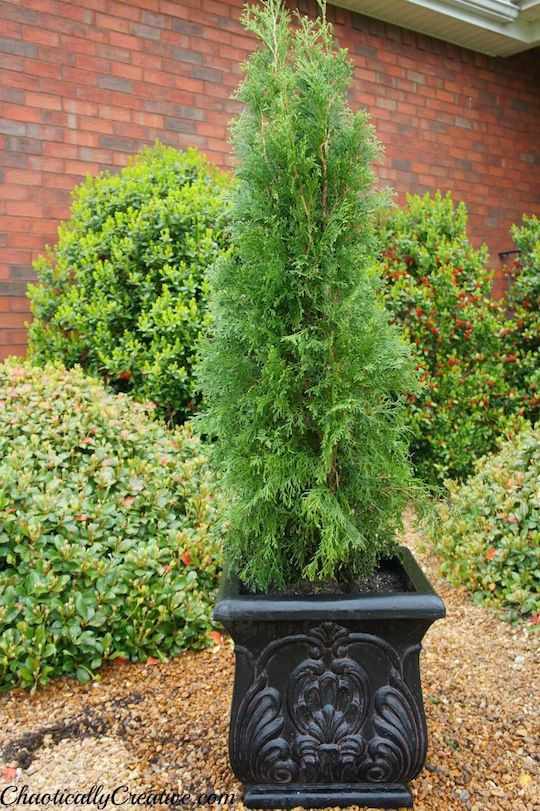 how to plant an evergreen in a container what my front. Black Bedroom Furniture Sets. Home Design Ideas
