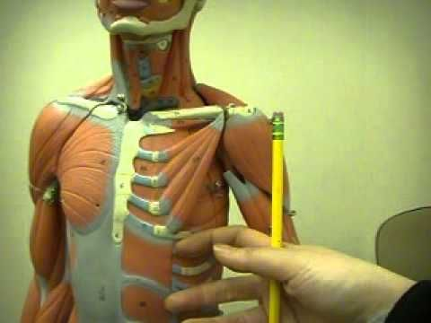 human muscle anatomy 1 from you tube | anatomy: head to toe, Muscles